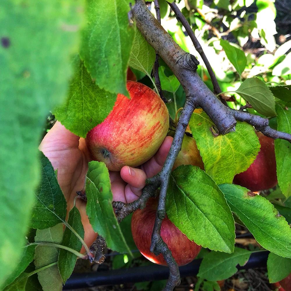 pommes-automne-verger